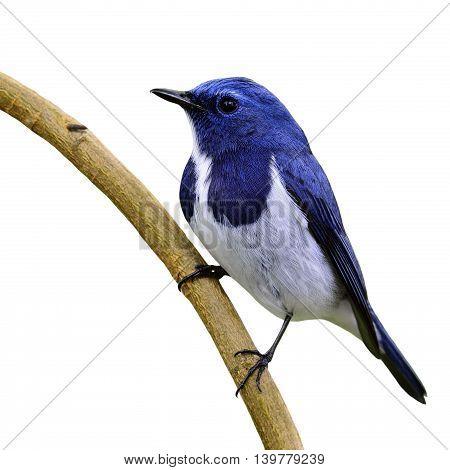White-browed Blue Flycatcher Or Ultramarine Flycatcher (ficedula Superciliaris) The Beautiful Blue B