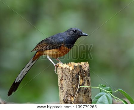 White-rumped Shama (copsychus Malabaricus) The Beautiful Long Tail Bird Perching On Top Of The Died