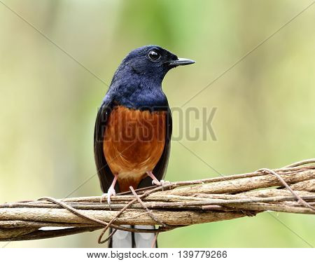 White-rumped Shama (copsychus Malabaricus) The Beautiful Orange Chest, Long White Tail And Black Hea