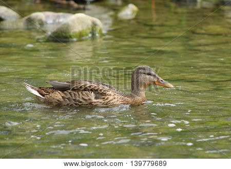 almost adult mallard duck youngster swimming in the water
