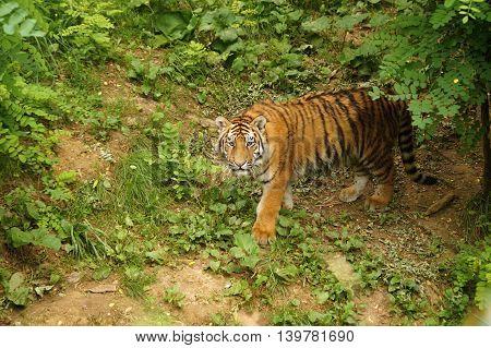 Amur tiger  -  ( Panthera tigris altaica)
