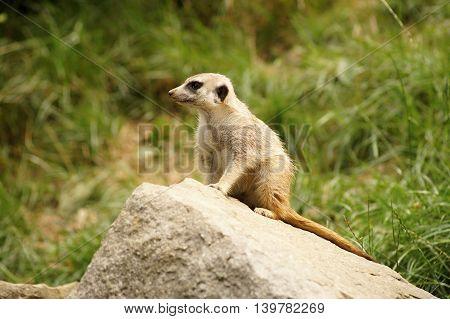 Suricate or meerkat (Suricata suricatta) standing on guard