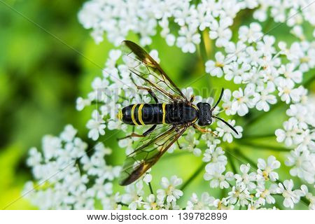 Wasp on a flower eating nectar. Insect with yellow and black abdomen and a sting. The world wildlife stinging insects.