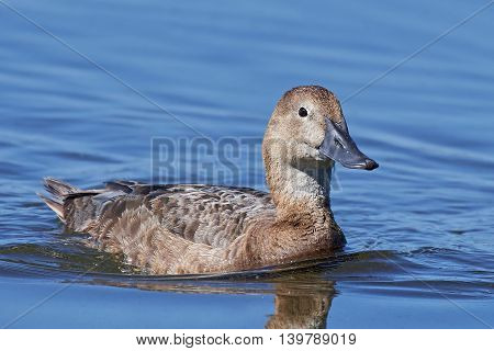 Common pochard (Aythya ferina) swimming in blue water in its habitat