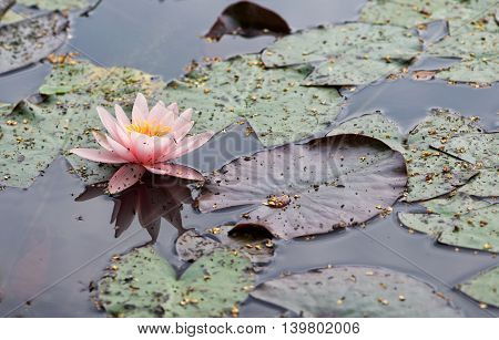 Water lilly background. Pink water lilly with green leaves in the lake. Link blossom.Summer background. Lithuanian flora