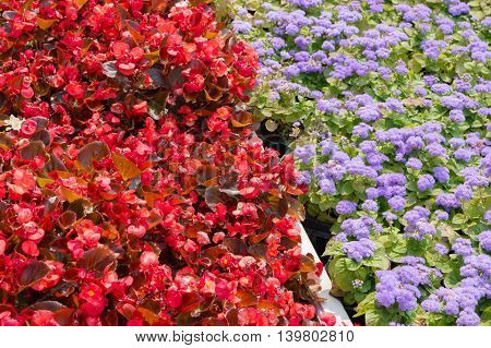 A flower bed with blooming Ageratum houstonianum and red begonia