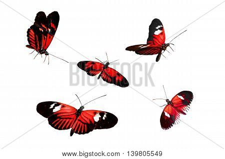 Collection of Red Postman Butterfly or Common Postman (Heliconius melpomene) isolated on white background