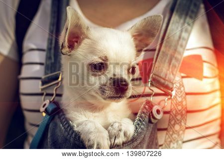 puppy chihuahua in the bosom of a girl at sunset looking