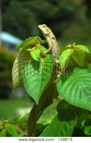 Chameleon At Top Of Tree (1)