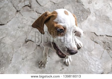 White with auburn spotty four-month puppy pointer with open mouth