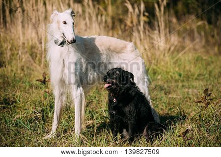 Small Size Black Mixed Breed and Hunting Dog and White Russian Borzoi, Borzaya Staying Together Outdoor