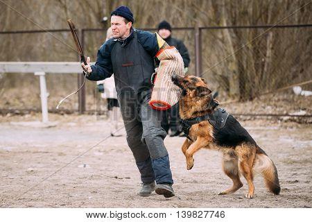 GOMEL, BELARUS - FEBRUARY, 20, 2016: German shepherd dog training. Biting dog. Alsatian Wolf Dog. Deutscher, dog