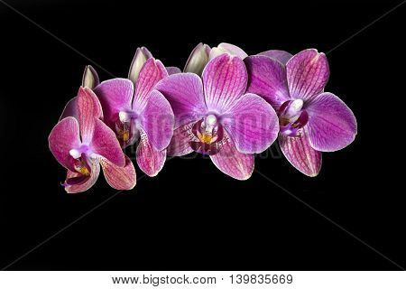 Red orchid closeup, isolated on black background