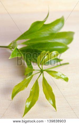 Araliaceae leaf - Famous Thai Herb (Also called as Schefflera leucantha R.Vig. Schefflera kwangsiensis Merr. ex H.L.Li Schefflera tamdaoensis Grushv. & Skvortsova Schefflera tenuis H.L.Li)