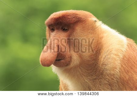 Male Proboscis monkey face