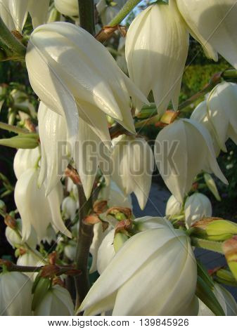Filamentous Yucca is a perennial evergreen tree
