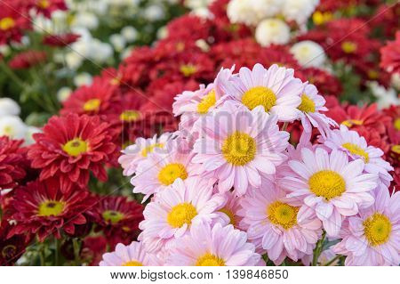 closeup beatiful flowers, colorful chrysanthemums in the garden