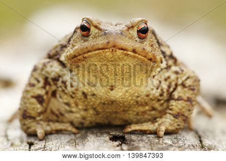 portrait of common toad ( Bufo bufo macro image )