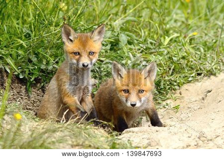 two european red fox cubs at the entrance of the den ( Vulpes vulpes wild animals )