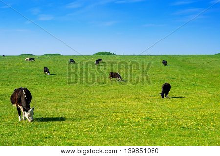 Cows In The Valley At Stonehenge In Wiltshire In Uk