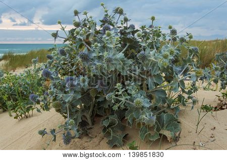 Sea holly (Eryngium maritimum) at a dune in France