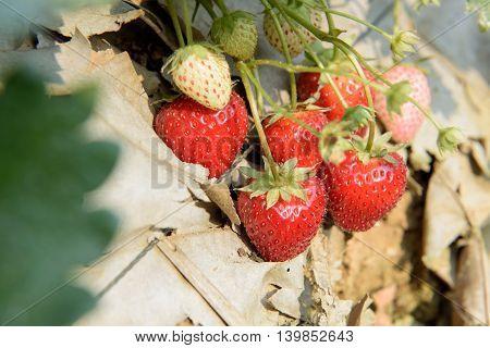 red ripe strawberry bush in the farm
