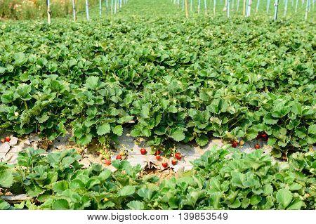 ripe strawberry bush in the farm, agriculture industrial