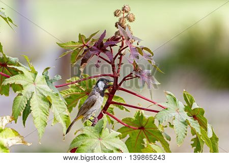 White-eared Bulbul or Pycnonotus Leucotis perched on a plant in Bahrain
