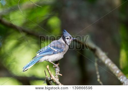 The Blue Jay is a  common, large songbird is familiar to many people, with its perky crest; blue, white, and black plumage; and noisy calls. They are also known for their intelligence.