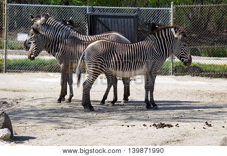 Three Grevy's zebras (Equus grevyi), a stallion, a foal and a mare, stand together, their stripes seeming to blend together.
