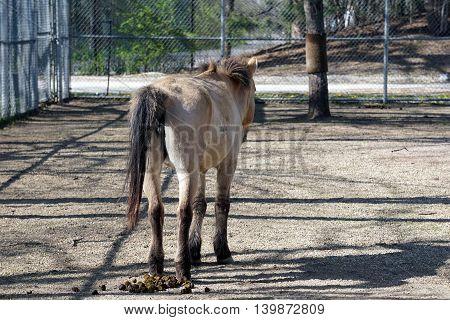 A Przewalski's wild horse (Equus ferus przewalskii) finishes defecating onto the ground.