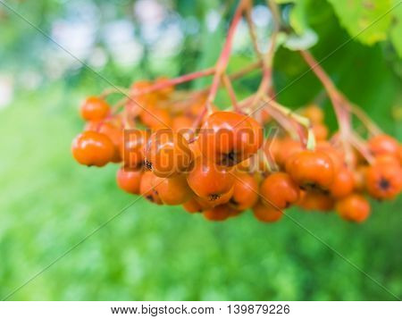 A bunch of young berries of mountain ash. Rowan beautiful nature close. Orange berries chokeberry, is rich in vitamins. Healthy natural food.