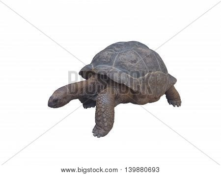 Aldabra giant tortoise, Aldabrachelys gigantea, isolated on white. Seychelles gigantic turtle.