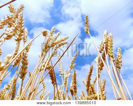 Wheat field and partly cloudy sky during summer