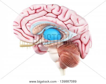 3d rendered medically accurate illustration of the thalamus