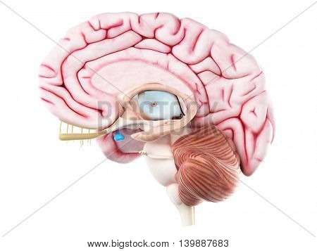 3d rendered medically accurate illustration of the pituitary gland