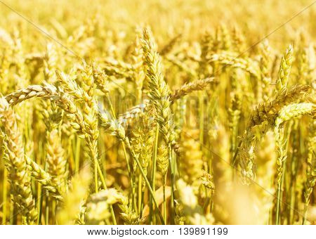 wheat ears on the field agriculture, barley