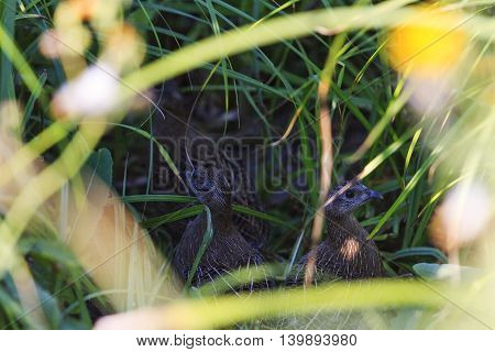 young gray partridge hidden among the tall grass, hunting birds, a new generation