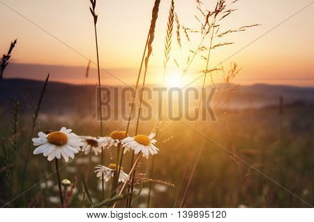 Mountain Meadow Chamomile In Sunny Day
