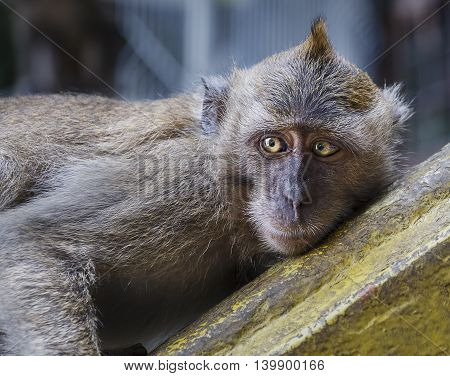 Macaque monkey laying down, looking away from the camera