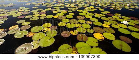 Water Panorama. Pond with lotus and lilly pads in panoramic orientation.