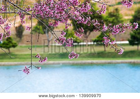 Cherry blossom is blossoming colorful on the lake