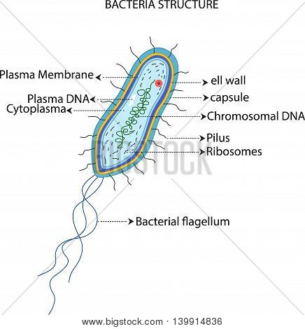 illustration of bacteria structure for you design