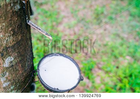 Milk of rubber tree flows into a bowl