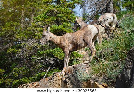 Mountain goat climbing on the cliff of mountain