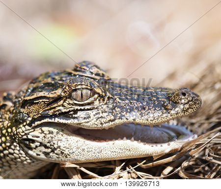 Young American Alligator , close up