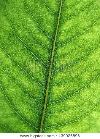 Australian eucalyptus green leaf detail with veins