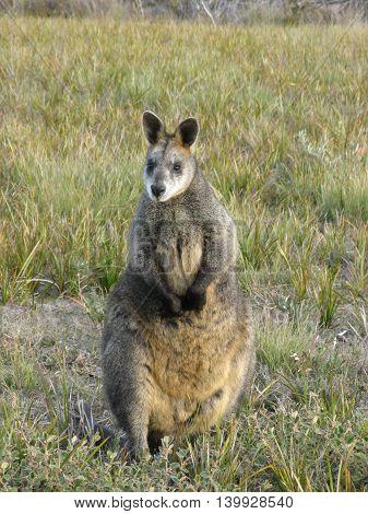 Australian Swamp Wallaby Wallabia Bicolor Wilsons Promontory