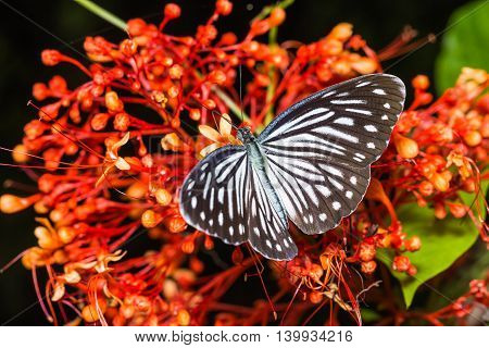Common Wanderer Butterfly