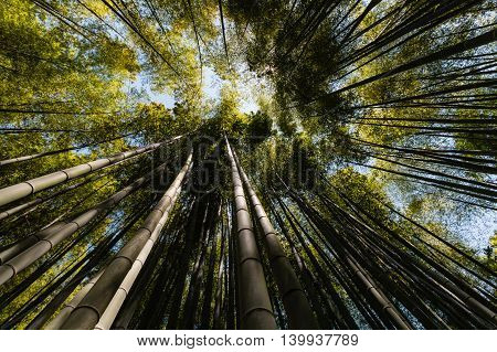 closeup of giant bamboo stems growing in forest